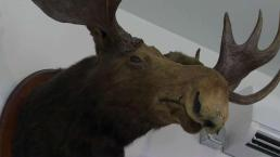 Maine Town Office's Moose Head Being Auctioned Off