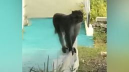 Loose Monkey Leaves Some Neighbors on Edge