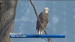 Bald Eagle Comeback