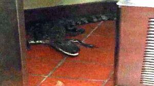 Man Throws Live Alligator Into Wendy's Drive-Thru