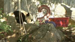 Bei Bei the Panda Celebrates 2nd Birthday at National Zoo