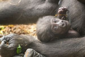 PICS: Franklin Park Zoo's Baby Gorilla