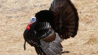 Wild Turkeys Caught Circling Dead Cat in Randolph, Massachusetts