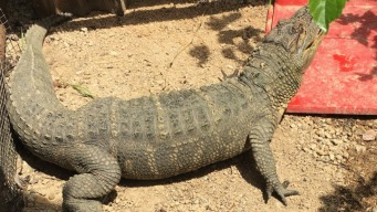 5-Foot Alligator, Ferret, Marijuana Seized in Calif.
