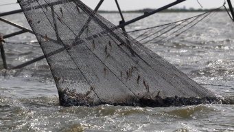 Warming Waters Spell More Bad News for New England Shrimp
