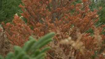 Christmas Tree Troubles After Summer Drought