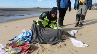 Dolphin Rescued From Beach Near Provincetown, Massachusetts