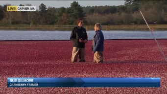 Cranberry Harvest Begins