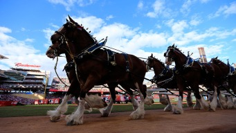Budweiser Clydesdales Will No Longer Train in NH