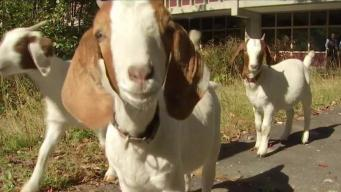 Chelmsford School Recruits Goats to Help With Gardening