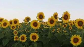 Colby Sunflower Farm Tops List of Fall Activities