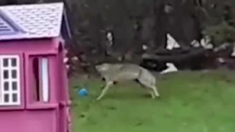 'Nerve-Wracking': Coyote Caught on Camera Playing With Child's Toy