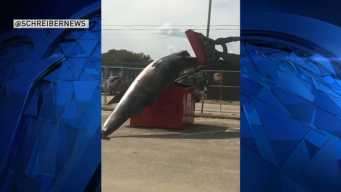 Failed Attempt to Put Dead Whale in Dumpster 'Was a Mistake': PD