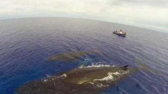 Efforts to Save Endangered Right Whales