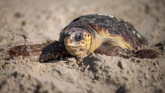 Norwalk, Conn. Aquarium Seeks to Stop Turtle Deaths