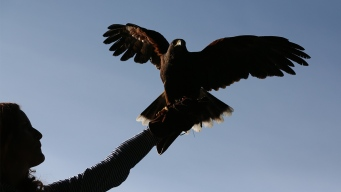 Hawks Are Dive-Bombing, Clawing People's Heads in CT: Police