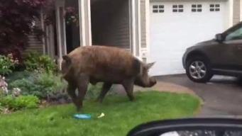 Giant Pig Gets Loose in Georgetown, Mass.