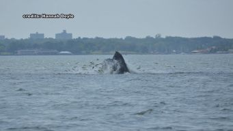 Several Humpback Whales Spotted in Long Island Sound