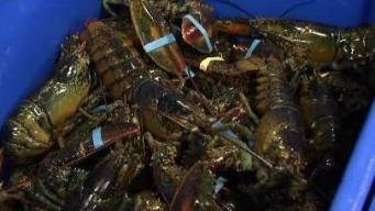 China Tariffs Not Good News for Maine's Lobster Industry