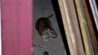 Maine Residents: Are Rats on the Rise?