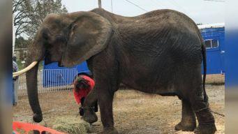 Custody Battle Brewing Over Seized Circus Elephant