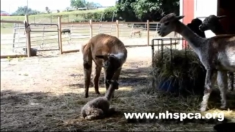 Baby Alpaca Born at the New Hampshire SPCA