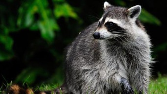 Man May Have Rabies After Coming in Contact with Raccoons