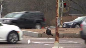 Larry the Traffic Jam Turkey Killed by Car