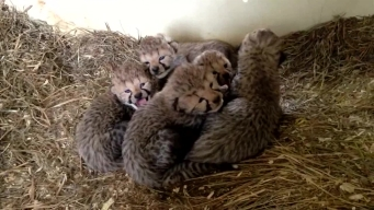 Two Litters of Cheetah Cubs Born