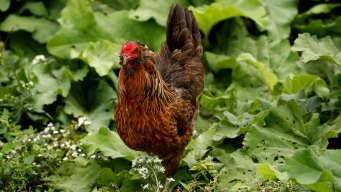 Salmonella Outbreaks Linked to Pig Ear Dog Treats, Backyard Poultry
