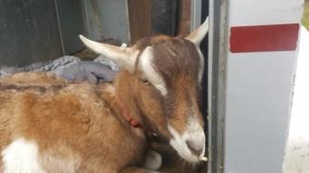 Goat Injured in Bear Attack in Wolcott Dies