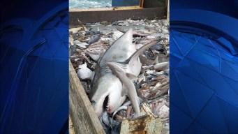 Great White Shark Caught Off Rhode Island