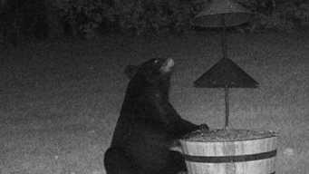 Bear Sightings on the Rise in Dracut