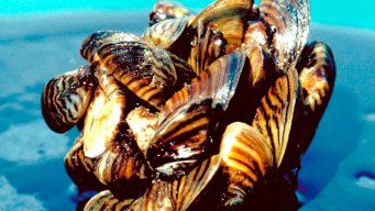 Zebra Mussels Threaten Sunken Ships in Lake Champlain, Vt.