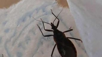 Dangerous 'Kissing Bug' Returns to Massachusetts