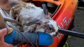 Rabbit Found With Weight Around Its Neck Rescued From NH River