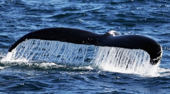 Whales Have Worse Than Average Year for Entanglement in Gear