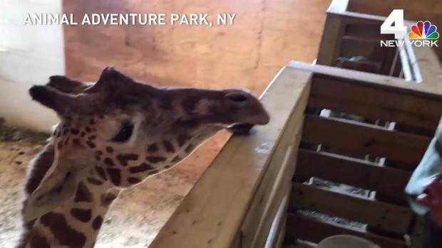 It's over. April's giraffe cam ends