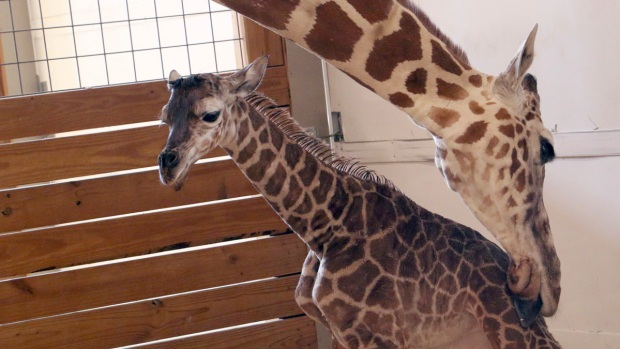 Here's how you can help name April the giraffe's baby boy