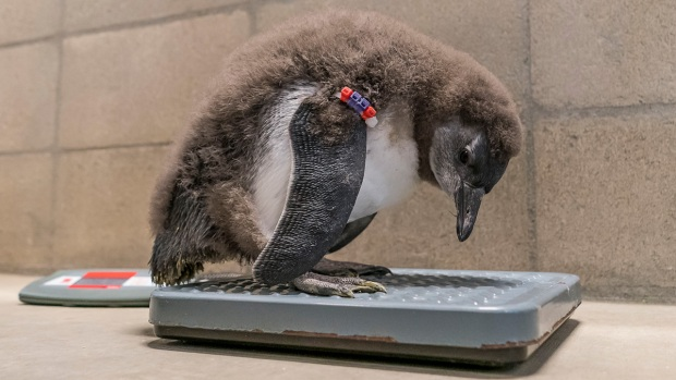 [NATL] Adorable Zoo Babies: Penguin Chicks Hatch at San Diego Zoo