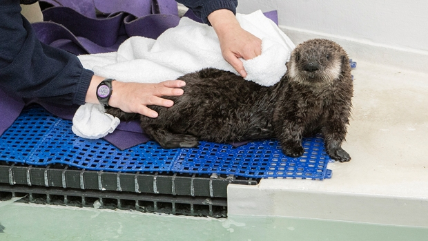 Orphaned Otter Finds New Home at Chicago Aquarium