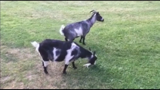 [NECN] Police Searching for Missing Goats