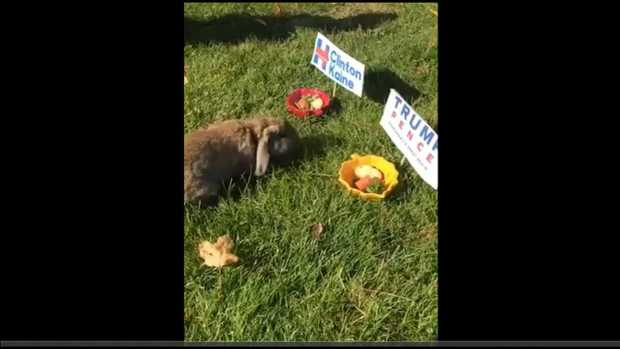 [NECN]Nibbles the Bunny Attempts to Predict Election's Results