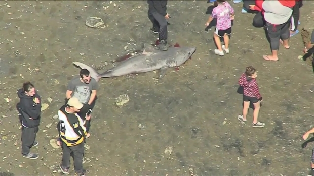 [NECN] Nearly-6-Foot Shark Washes Up Dead on Mass. Beach