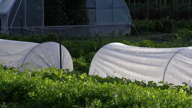 Farmer: Cover Plants for Cold Weather