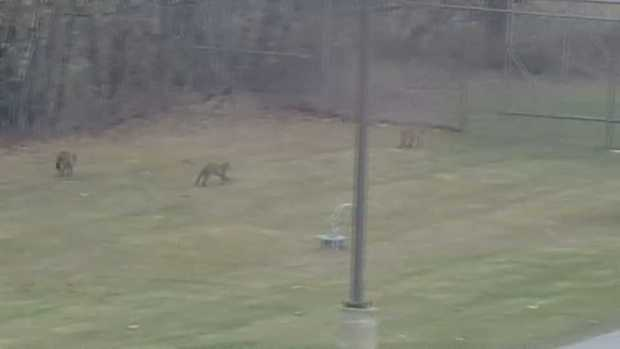 RAW Four Bobcats Frolick in Vermont Neighborhood