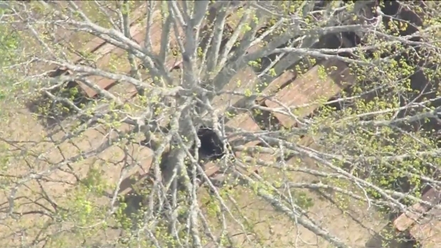 [NECN] Bear Gets Stuck In New Hampshire Tree