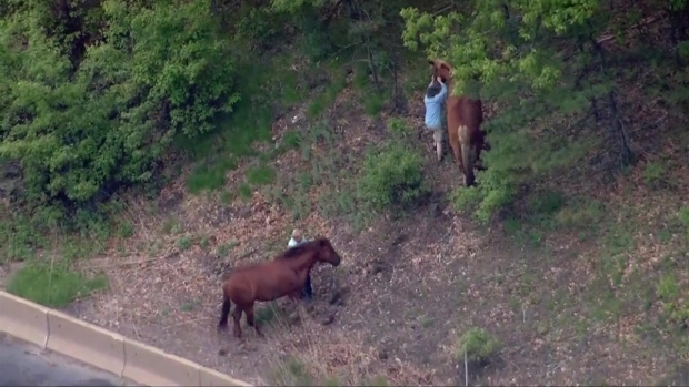 [NECN] Horses Get Loose on Mass. Highway