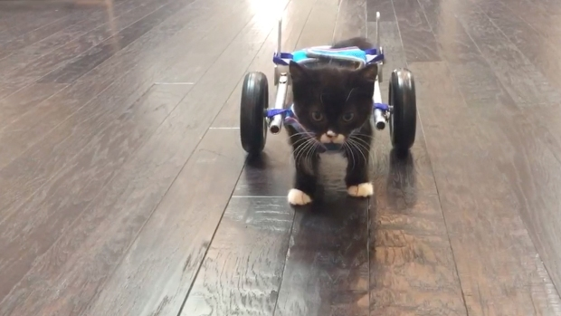 Tiny Feral Kitten Takes First Steps in Wheelchair