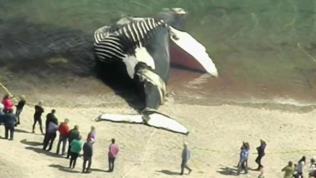 [NECN] Death of Humpback Whale Under Investigation